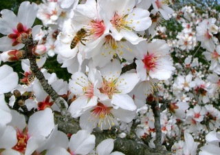 Honeybee-on-flowering-tree.jpg